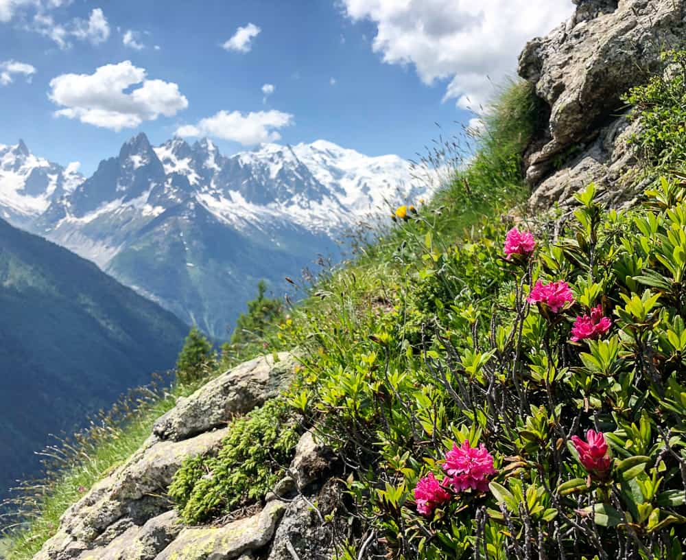 hiking the alps wild flowers